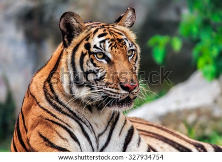 Tiger or tiger Laipadklan, selected focus. - stock photo