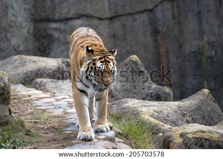 Tiger pacing back and forth on a cliff wall