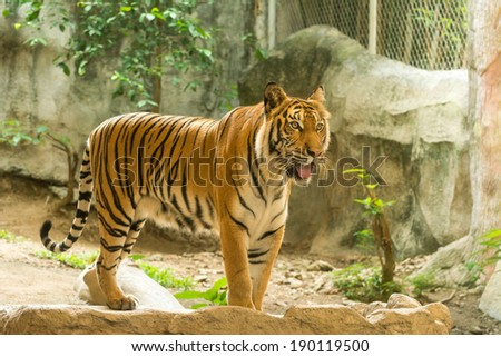 Tiger (Panthera tigris) standing on artificial rock - stock photo