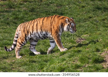 Tiger passing by. A magnificent tiger walks along in front of the camera. - stock photo