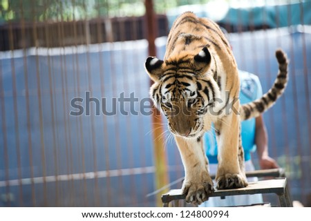 tiger performance at the zoo - stock photo