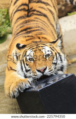 Tiger play in the water - stock photo