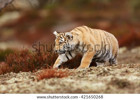 Tiger plays in a wild natural environment. Tiger is still the cute baby and wants to still play. - stock photo