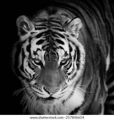 tiger portrait closeup on black. monochrome portrait - stock photo