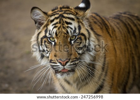 Tiger, portrait of a Sumatran Tiger - stock photo