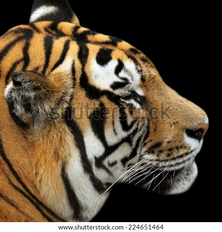 tiger portrait on black background, close up of the head - stock photo