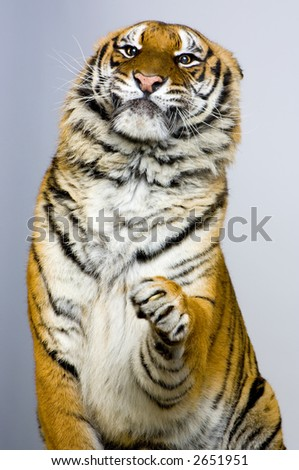 Tiger posing. All my pictures are taken in a photo studio - stock photo