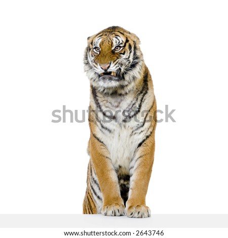 Tiger posing in front of a white background. All my pictures are taken in a photo studio
