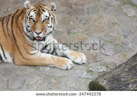 Tiger Predator resting - stock photo
