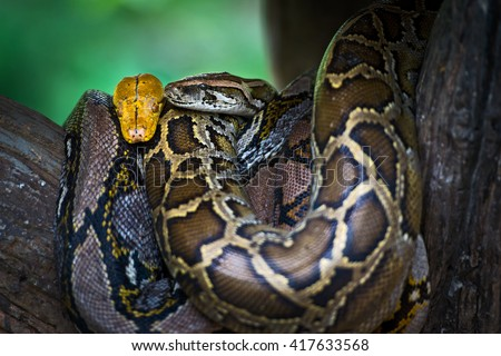 tiger python and Boa constrictor imperator - stock photo