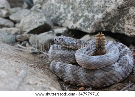 Tiger Rattlesnake - stock photo