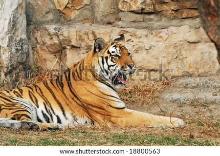 Tiger rest in a stone beside - stock photo