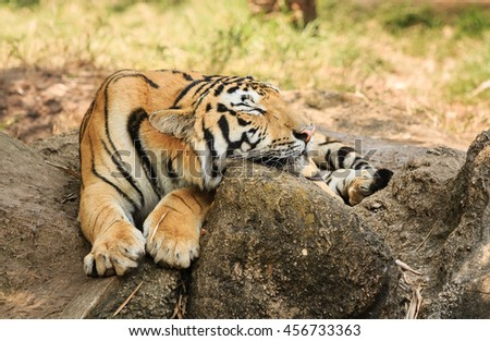 tiger resting on rocks