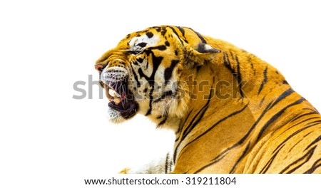Tiger roaring isolated on white background - stock photo