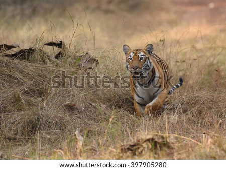 Tiger running, tadoba, maharashtra, india - stock photo