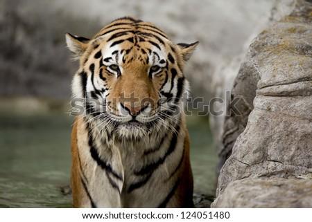 Tiger's ferociously staring at the camera. - stock photo