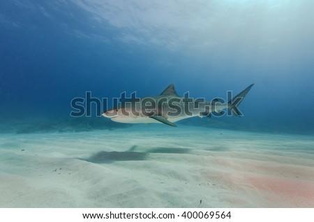 Tiger shark at Fish Tales / Bahamas  - stock photo