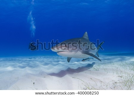 Tiger shark close to the ground in clear blue water with shadow in the sand and scuba diver / videographer / photographer in the background.. - stock photo