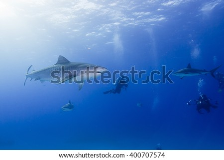 Tiger shark in clear blue water with caribbean reef sharks and scuba divers with sun in the background. - stock photo