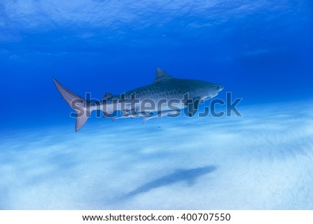 Tiger shark in clear blue water with shadow on the sand. - stock photo