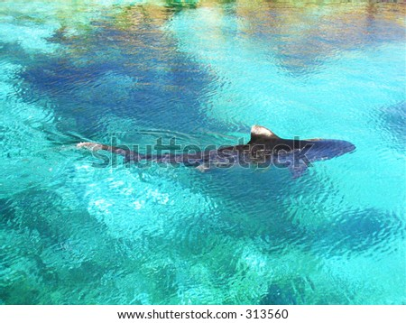 Tiger shark on surface