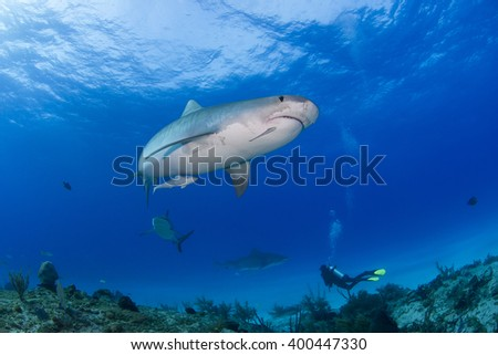 Tiger shark sideways from below in clear blue water with a caribbean reef shark, another tiger shark and a scuba diver in the background. - stock photo