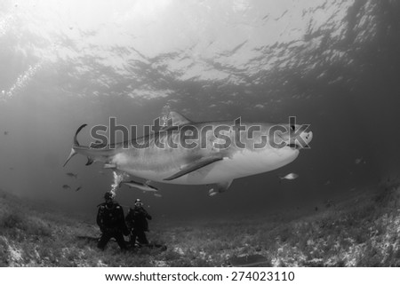 Tiger shark swimming over diver in black and white, Tiger beach, Bahamas - stock photo