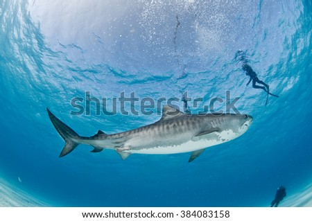 Tiger shark swimming peacefully past a group of scuba divers in shallow, clear water.
