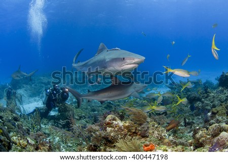 Tiger shark with caribbean reef sharks in clear blue water and videographer / photographer in the background. - stock photo