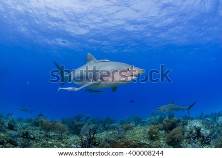 Tiger shark with other sharks in clear blue water with sun in the background. - stock photo