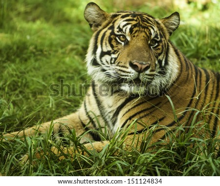 Tiger sitting in grass looking left with focus on right eye - stock photo