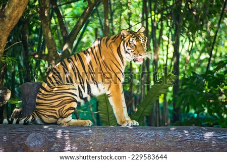 Tiger sitting on a log in a zoo. - stock photo