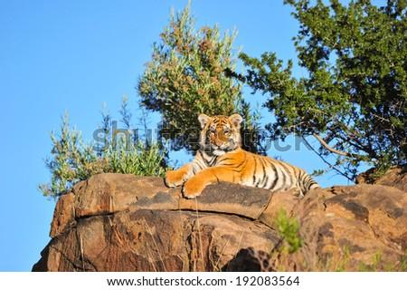 Tiger sitting on boulder - stock photo