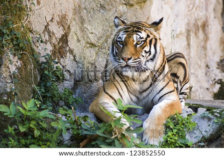 tiger sitting on the ground - stock photo