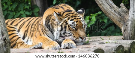 Tiger sleep in a wood house - stock photo