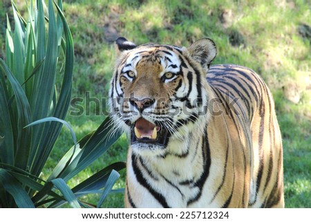 Tiger sniffing with grass background - stock photo