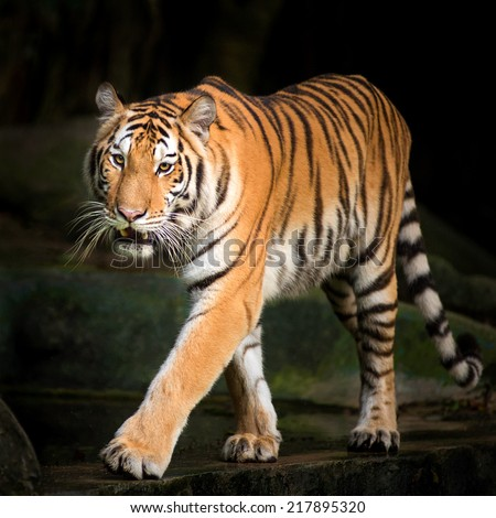 Tiger Stalking evening - stock photo