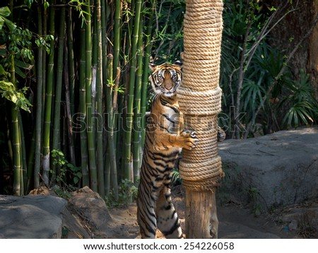tiger Standing  - stock photo