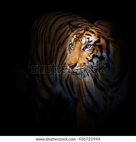 Tiger starting attack.  - stock photo