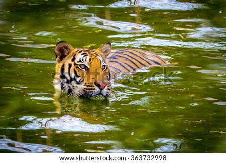 Tiger swimming in a national park in India. These national treasures are now being protected, but due to urban growth they will never be able to roam India as they used to.  - stock photo