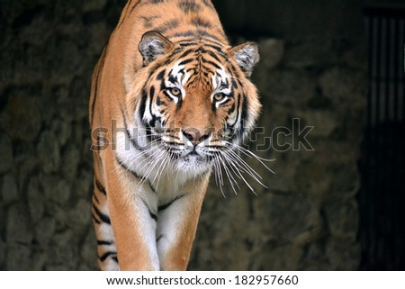 tiger, tiger goes on the camera - stock photo