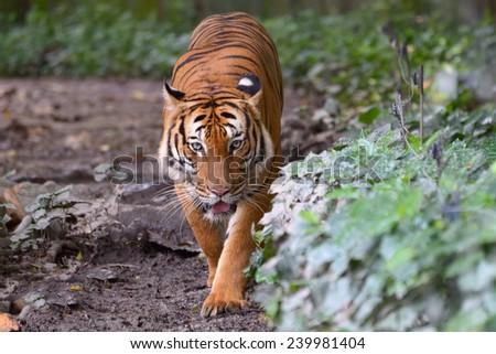 Tiger walking along the green bushes - stock photo