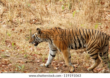 Tiger walking in forest.