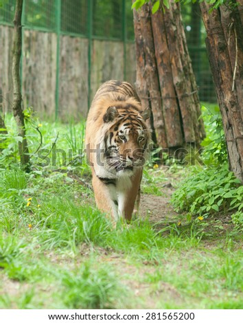 Tiger walking in the green foliage of the zoo