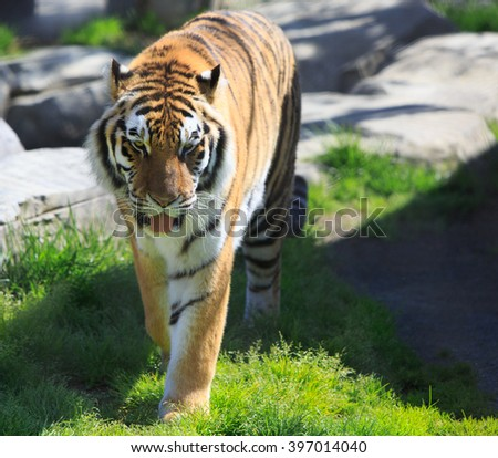 Tiger walking on free patch  - stock photo