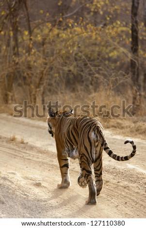 Tiger walking on the road, Ranthambore National Park - Rajasthan, India - stock photo