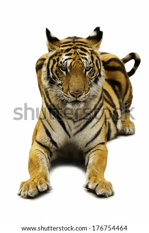 Tiger white background