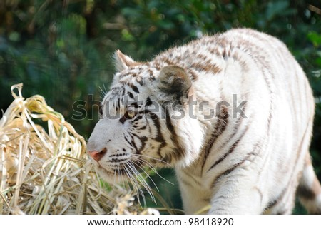 Tiger with tongue out looking away - stock photo