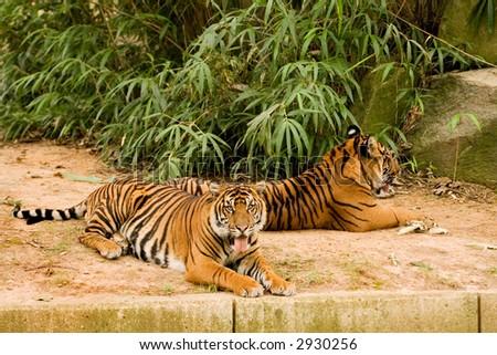 Tigers - stock photo