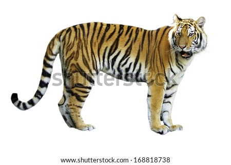Tigers are in the nature of the country. - stock photo